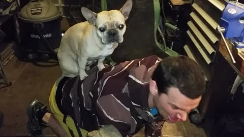 Frenchie Rides Man In Shed