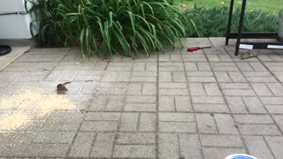 Chipmunk Fight! - Video