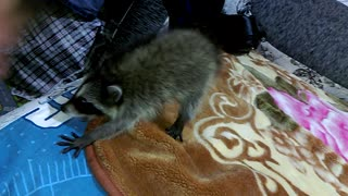 Growling Game with a Little Russian Raccoon