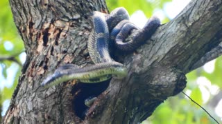 Gray Rat Snakes Mating Up High in a Tree