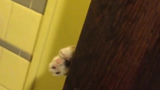 Black and white cat peers through brown door - Video