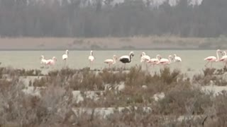 Rare black flamingo spotted in Cyprus - Video