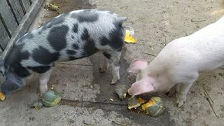Two pig brothers have lunch