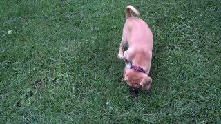 Max the Puggle Puppy Playing