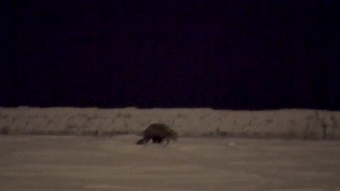 Coyote Kills Cat Outer Harbor in Buffalo