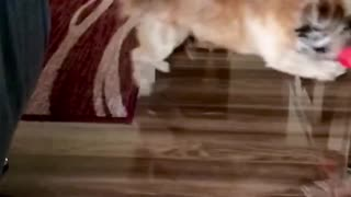 Dog chases his ball in slow motion