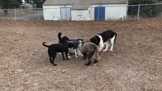 Pack of dogs play tug-of-war at the same time