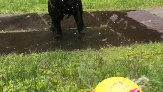 Black french bulldog plays in sprinkler - Video