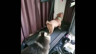 Two dogs are playing on the treadmill
