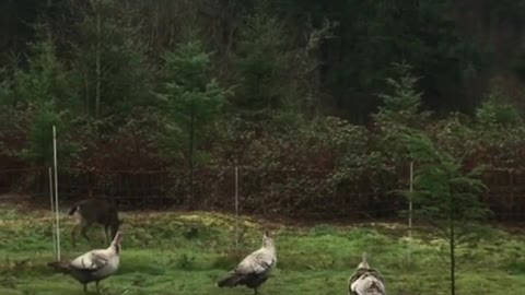 Turkeys defend their farm from nosy deer