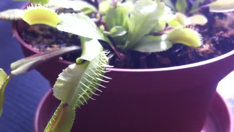 Carnivorous plant (Venus flytrap, Dionaea muscipula) with a mosquito