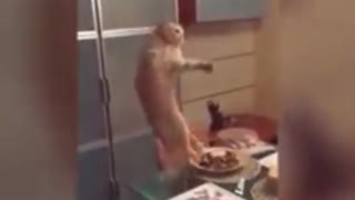 Cat Just Destoryed Her Owner's Dinner