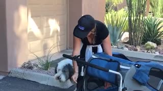 Huge grey and white dog goes in and out of doggy stroller - Video