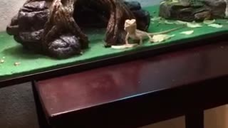 Bearded Dragon Greets His Owner From Across The Room - Video