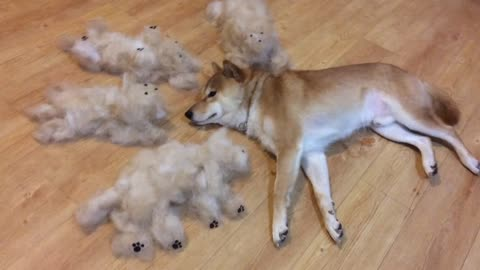"Shedding Shiba Inu creates entire new ""family"""