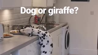 Dalmatian pulls off epic giraffe impression while stealing food