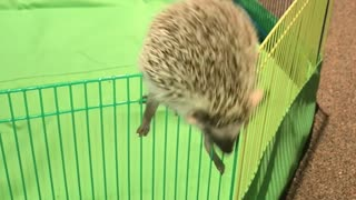 Hedgehog escape artist climbs out of pen