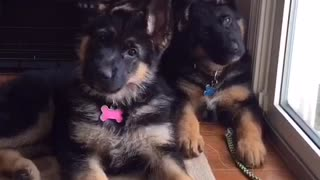 German Shepherd puppies give adorable head tilt - Video