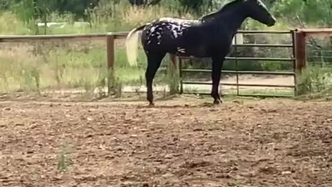Senior horse showing off
