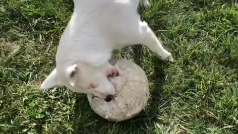 Blind and deaf dog plays with soccer ball