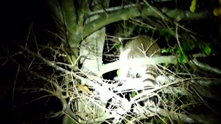 Two Baby Raccoons Play In A Tree - Video
