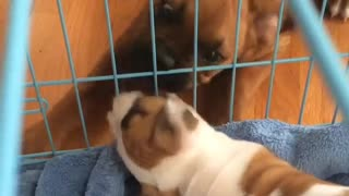 Puppies Go Crazy Meeting Each Other For 1st Time  - Video