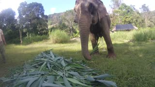 Unbelievable footage shows elephant and nearly hoovering up my GoPro  - Video