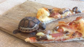 Adorable tortuga bebé adora la pizza - Video