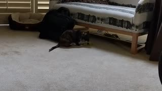 Goofy Kitty Loves Playing Fetch