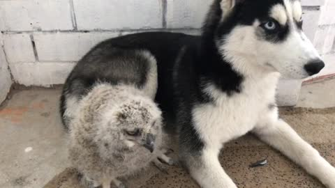 Heartwarming friendship between husky and baby owl