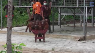 Orangutans Are Transported In Wheelbarrows After Being Rescued From Captivity - Video