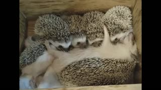 The Hedgehog family Sleeps After Dinner Today