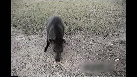 Wild Pig Rushes Man Who Gets Too Close