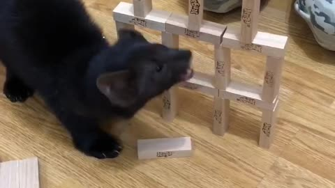Sable Buddy rescued from the fur farm is ruining the jenga tower