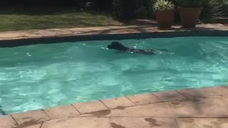 Black dog jumping into pool fetching