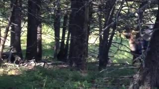 Bear Encounter in Montana Forest - Video