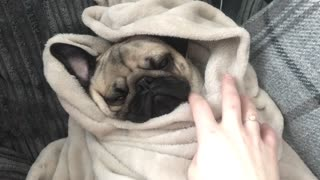 Pug snuggles in comfy blanket