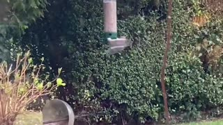 Squirrel Ninjas off Spinning Bird Feeder