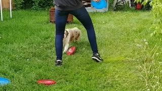 Vixey, the Expert Frisbee Chasing Dog