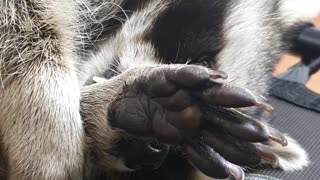 Raccoon lies down and manages the fur on his hands.