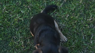A Dog playing In The Garden 1