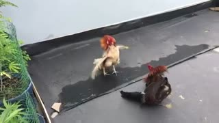 chicken fight - Video