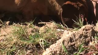 Small brown weiner dog digging hole in backyard between bricks - Video