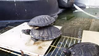 Turtles one-up each other at basking time