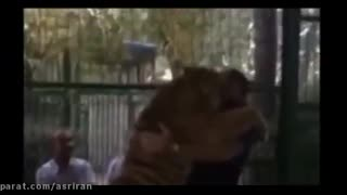 Iran's strongest man with a tiger in Mashhad zoo