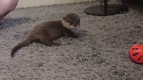 A baby otter delayed a roll after been hit with a toy.