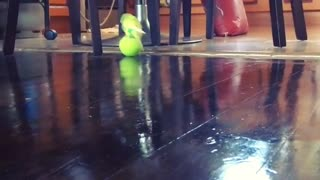 Vocal parakeet enthusiastically plays with tennis ball - Video