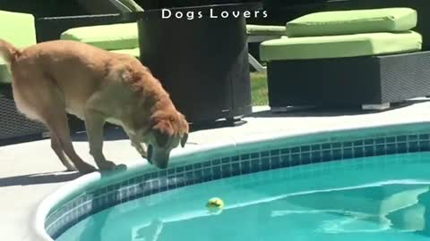 A Dog Takes A Tennis Ball From The Pool