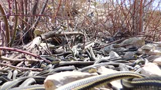 Hundreds of Large Garter Snakes in Den - Video