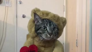 Cat not too thrilled about teddy bear costume